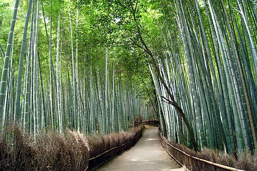 Sagano bamboo forest. Photo by Yoshi