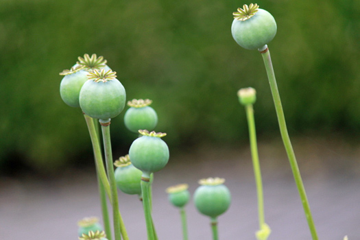 Opium poppies. Photo by Dave
