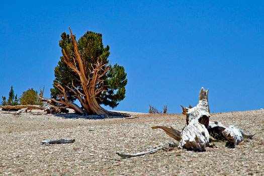 Ancient Bristlecone Pine Forest. Photo by clr_flickr