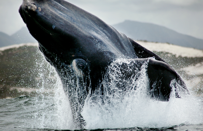 A whale breaching just off the shore in Hermanus.