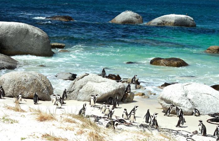 Penguin party at Boulder Beach.