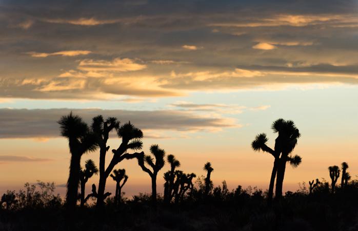 Joshua trees embracing the sunrise at Joshua Tree National Park