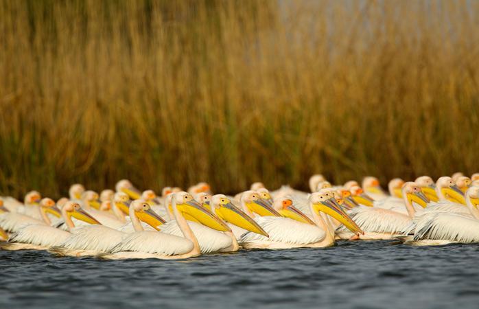 The white pelicans call the Danube Delta home