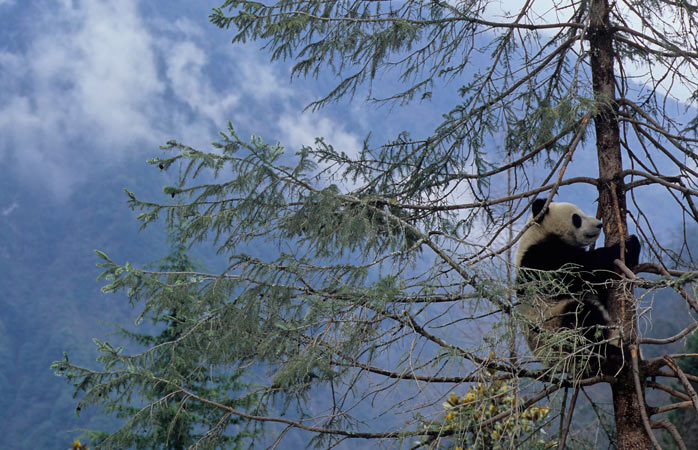 The giant panda, one of the most beloved animals worldwide
