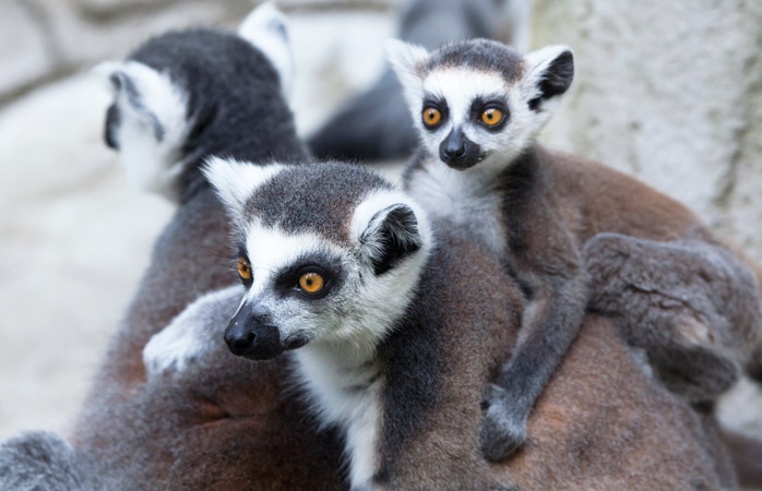 The smallest lemur in the world weighs the same as a little box of raisins (the one pictured weighs more)