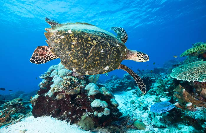 A hawksbill turtle just doing its thing