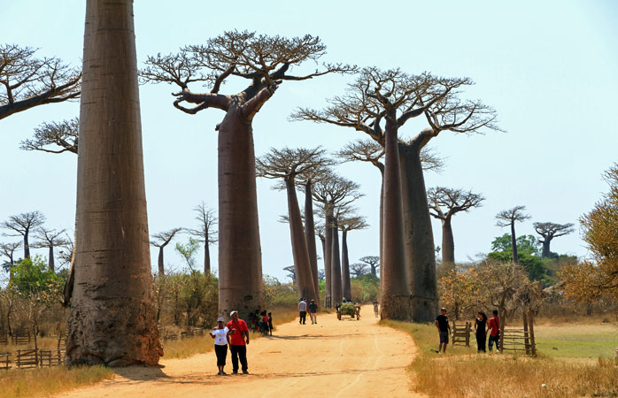 Hug a baobab on the Avenue of the Baobabs in Morondova